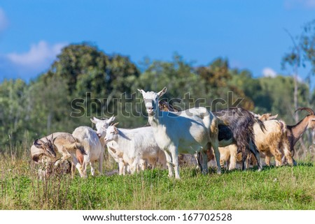 goat animals