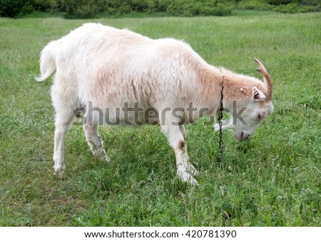 goat are grazing on grass in the village