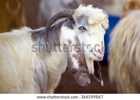 Goat at Al Dosari Zoo and Game Reserve, Ash-Shahaniyah