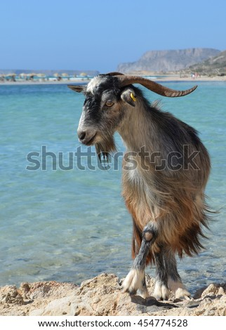 Goat at Balos Lagoon, Crete, Greece