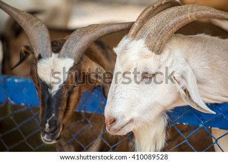 goat breeder in goat farm - stock photo