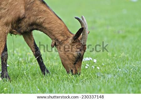 goat (Capra aegagrus hircus) - stock photo
