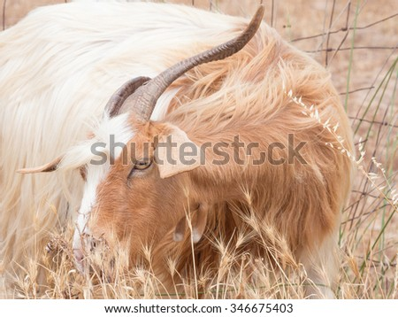 goat disheveled in campaign. Funny image of a goat