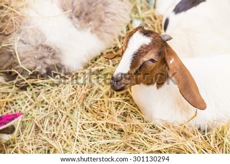 Goat eating grass - stock photo