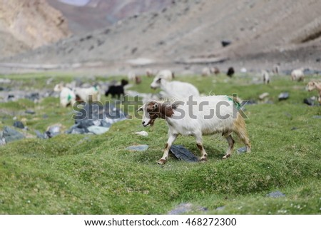 Goat eating grass between go to Moriri lake,Ladakh India