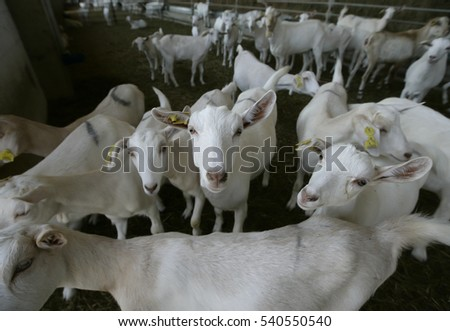 Goat Farm And Several Goats