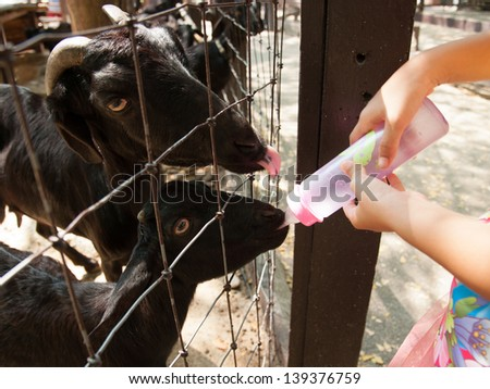 Goat farmer bottle feeds milk to a baby goat by hand