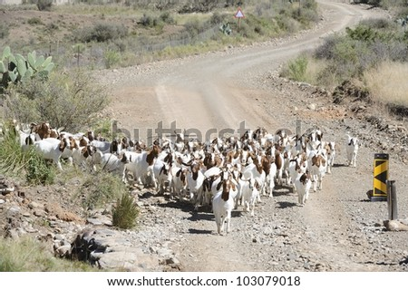 Goat flock on a country road, Karoo,South Africa - stock photo