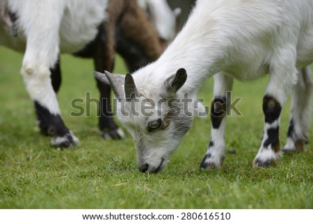 Goat graze on the meadow