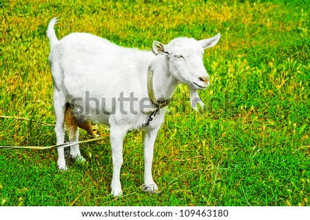 Goat grazed on a meadow or on a farm