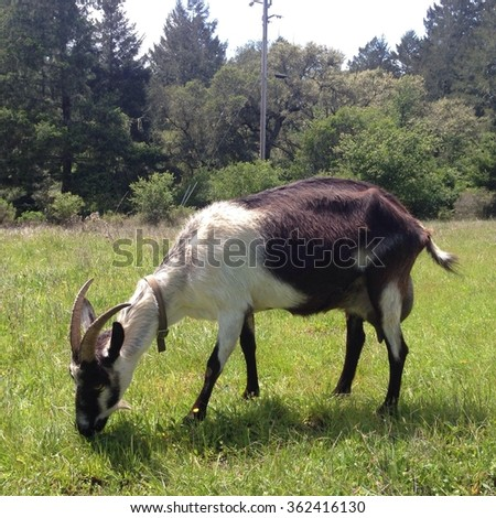 Goat grazing - stock photo