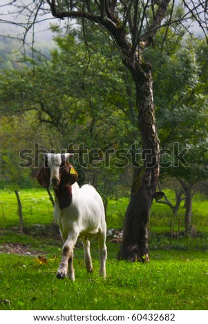 goat grazing in the Alps in slovenia on the green meadow - stock photo