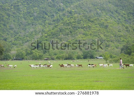 goat grazing in the meadow - stock photo