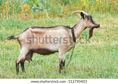 Goat grazing in the meadow