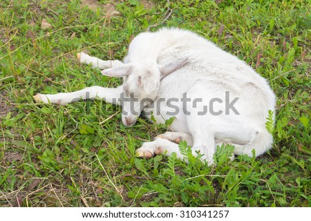 Goat in a corral asleep on the grass in the summer