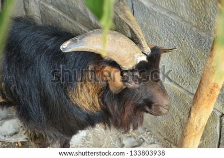 goat in farm - stock photo