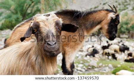 Goat in the Karakorum Mountains in Pakistan - stock photo
