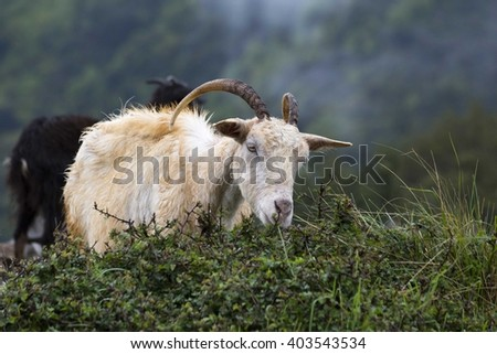 goat in the mountains, eating, horns