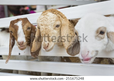 Goat in the paddock - stock photo