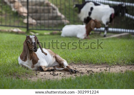 Goat in the paddock farm.