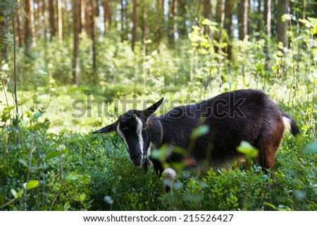 goat in the summer in the forest to eat grass