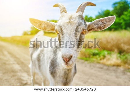 goat in the summer outdoors in nature - stock photo