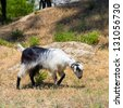 goat in the wildness Turkish valley - stock photo