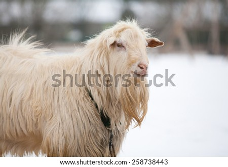 Goat in winter farm