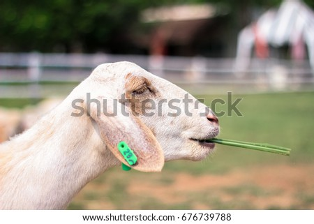 Goat is eating grass