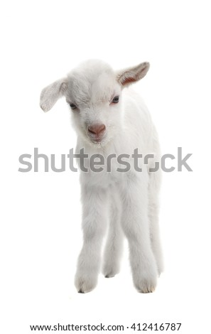 goat kid ( 7 day ) isolated on white