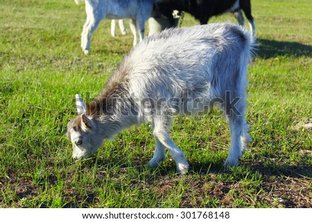 Goat kid on the grazing green grass on the pasture