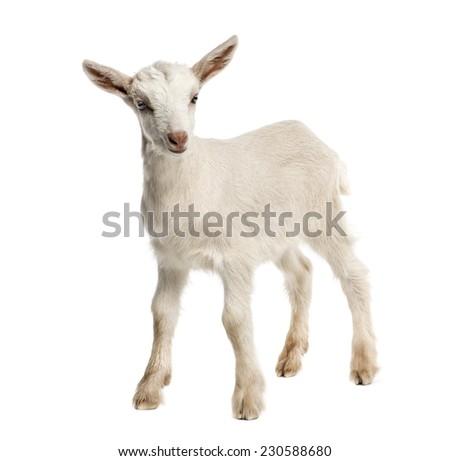 Goat kid (8 weeks old) isolated on white - stock photo