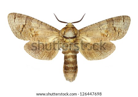 Goat moth (Cossus cossus) isolated on white background - stock photo