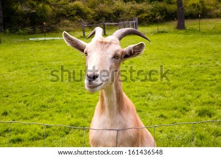 Goat on a farm - stock photo