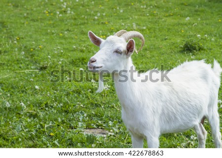 goat on a green grass
