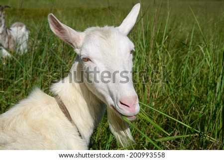 Goat on a summer pasture