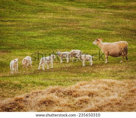 Goat on field eat grass - stock photo