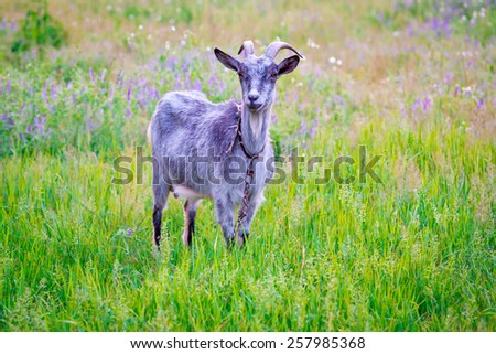 goat on green meadow in summer time - stock photo