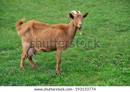 Goat on meadow  - stock photo