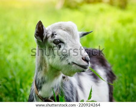 Goat on pasture closeup - stock photo