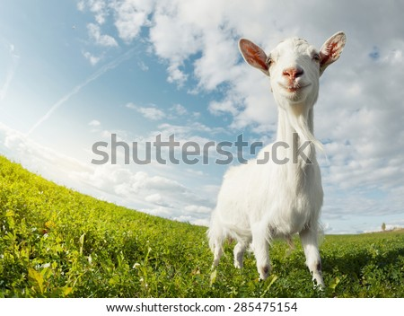 Goat on the green summer meadow - stock photo
