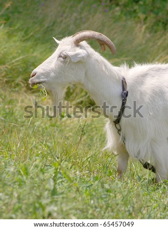 Goat on the lawn - stock photo