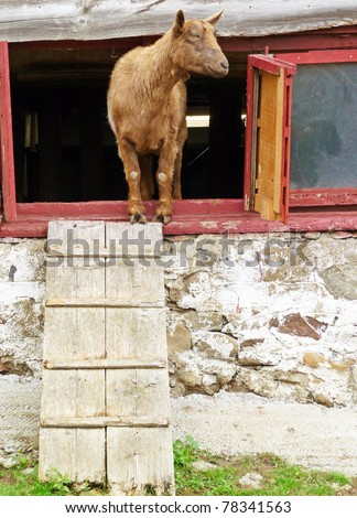 Goat Peering Out From Inside A Barn
