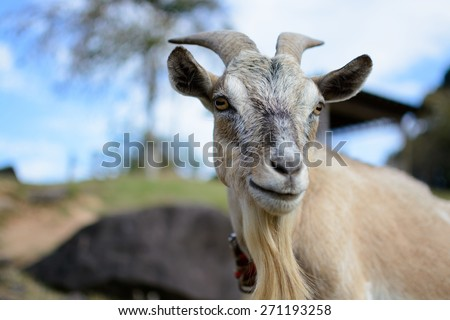 Goat portrait - stock photo