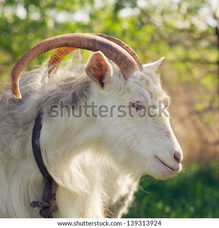 Goat portrait outdoors. Adult animal, rural farming, livestock breeding - stock photo