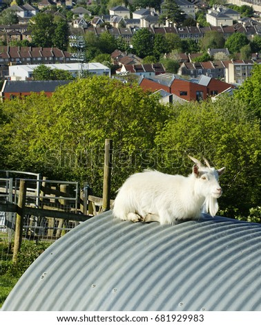 Goat Resting On The Roof Of A Corrugated Iron Shelter At Bath City Farm  Near The