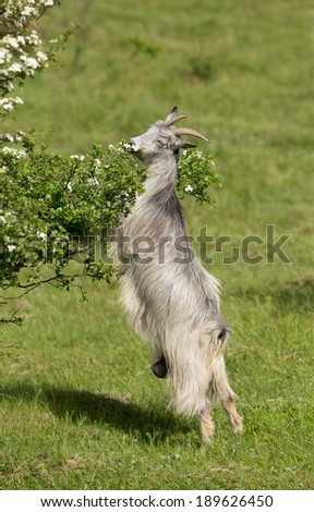 Goat standing on two legs and eating leaves from branch - stock photo