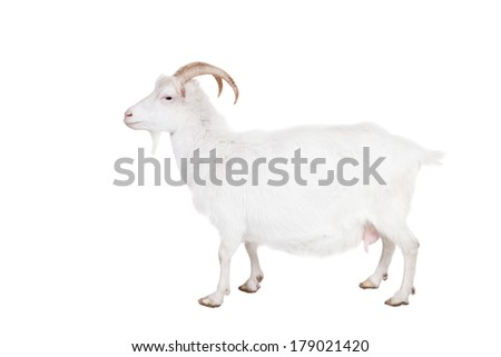 Goat standing up isolated on a white background - stock photo