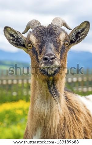 Goat, typical Bavarian animal on a meadow (Capra aegagrus hircus) - stock photo