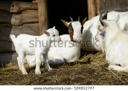 Goats and goat kids in straw